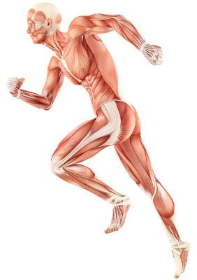 mięśni człowieka